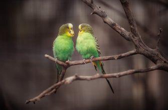 папагал-монах-мадрид